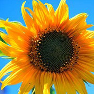 Slunečnice rostlina